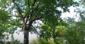 Cenne drzewa policzone przez przyrodników-hobbystów