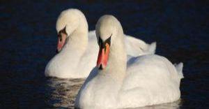 Dokarmianie ptaków wodnych w mieście