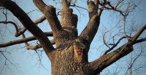 Więcej pieniędzy na pielęgnację drzew w Czechowicach?