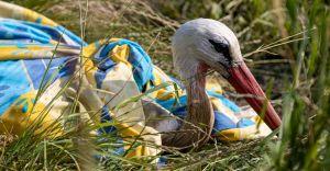 [FOTO] Miłośnicy przyrody uratowali bociana zaplątanego w sznur