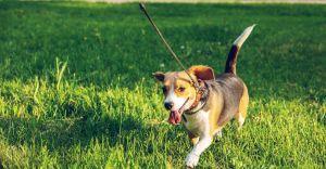 Dobierz odpowiednią smycz do rasy i wielkości psa - poznaj najlepsze rodzaje!