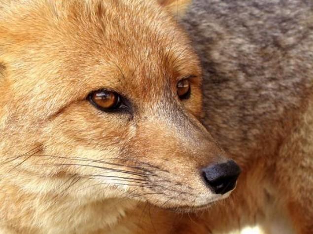 lis, wścieklizna, szczepienie