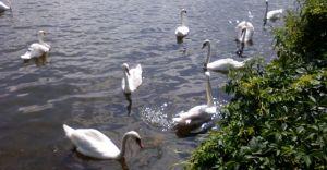 Foto-dnia: Jezioro łabędzie w Goczałkowicach