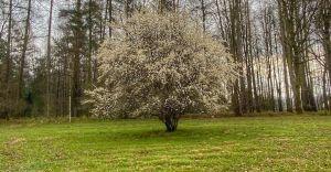 Wideo-dnia: Wiosna i śpiew ptaków w lasach czarnoleskich