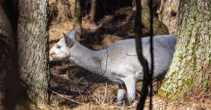 Wideo-dnia: Niezwykłe spotkanie w lasach czarnoleskich